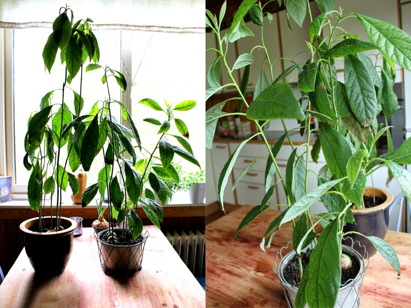 Gro En Avokadoplante Avokadospire Hvordan Spire Avokado
