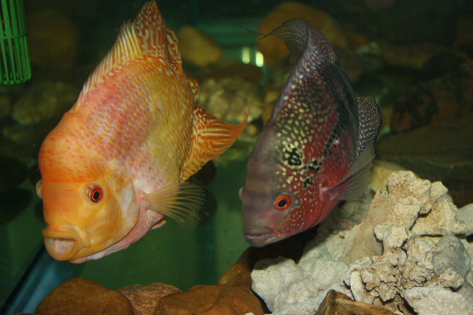 flowerhorn breeding hybrid - HD 1600×1066