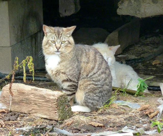 tabby tux tomcat and white cat