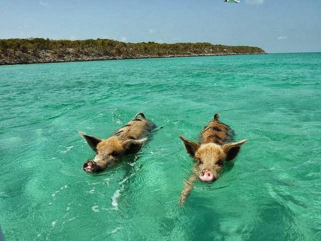 istanbul boğazı domuz rumeli kavağı