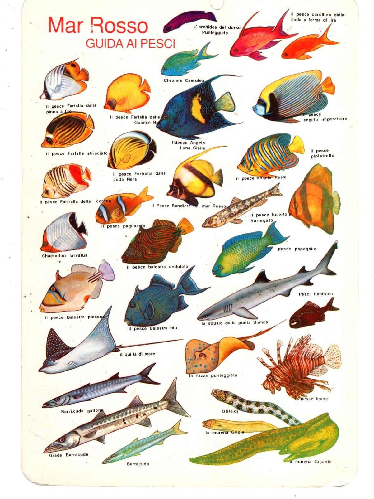 Elioarte guida ai pesci sul mar rosso o alle maldive for Un pesce allevato in acque stagnanti