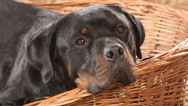 Animal wallpaper pet dog basket