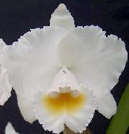 C. chocoensis alba