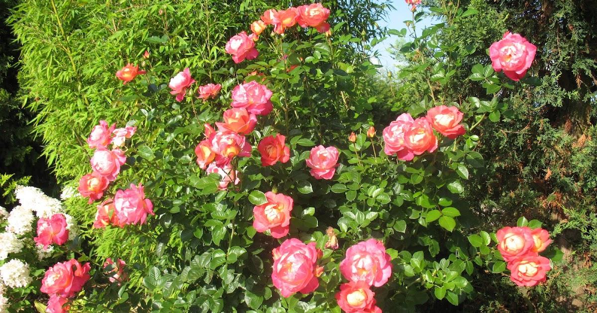 roses du jardin ch neland rosier d cor arlequin