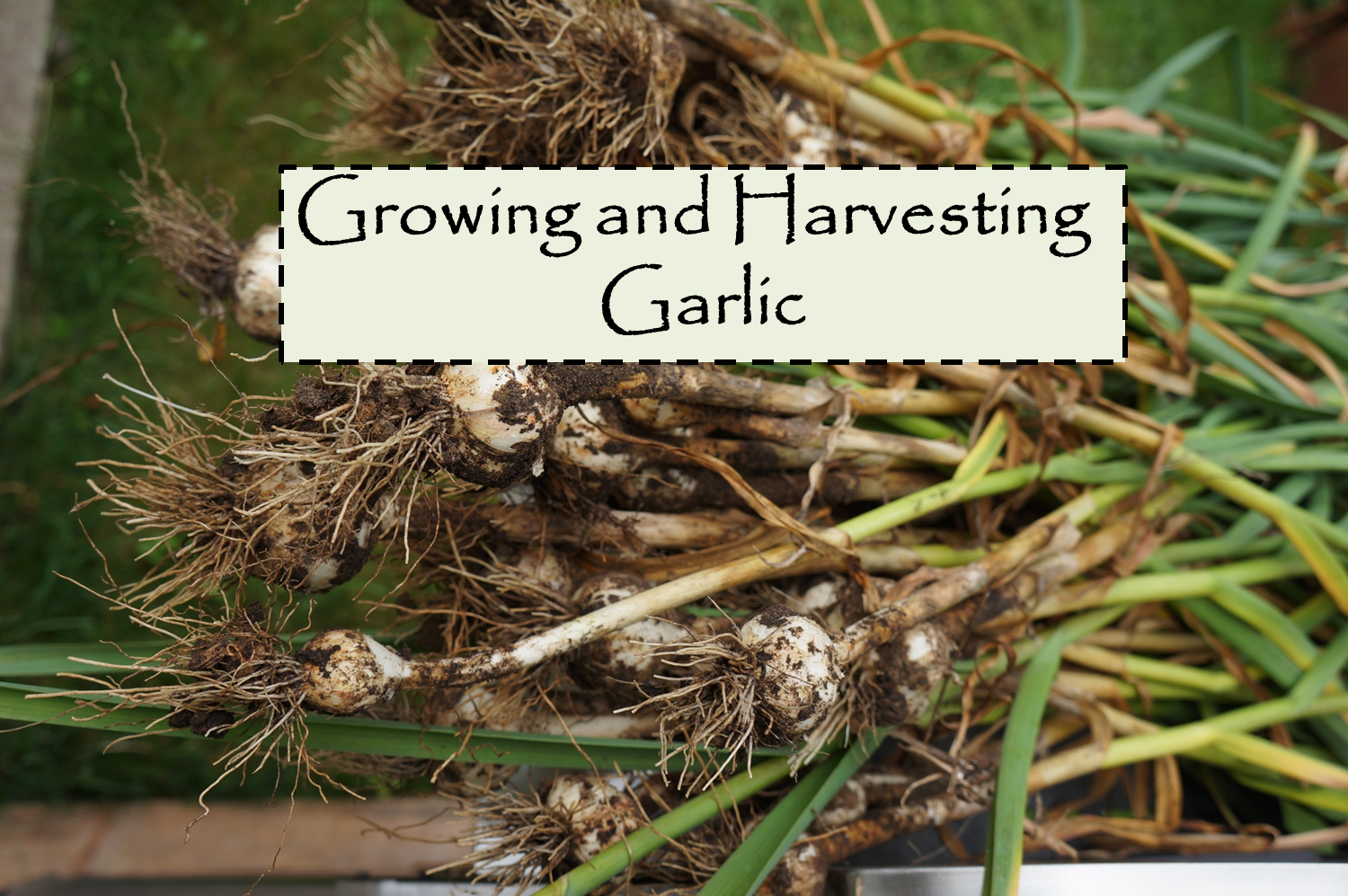 the backyard farming connection growing and harvesting garlic. Black Bedroom Furniture Sets. Home Design Ideas