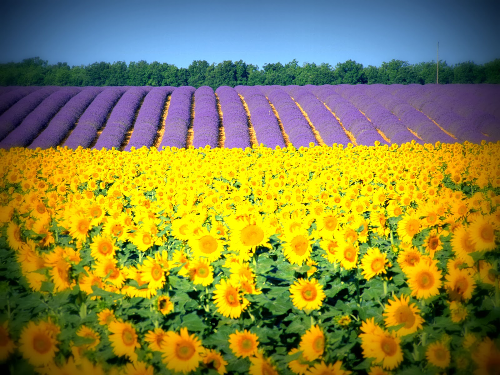 sunflower fields 2 by - photo #4