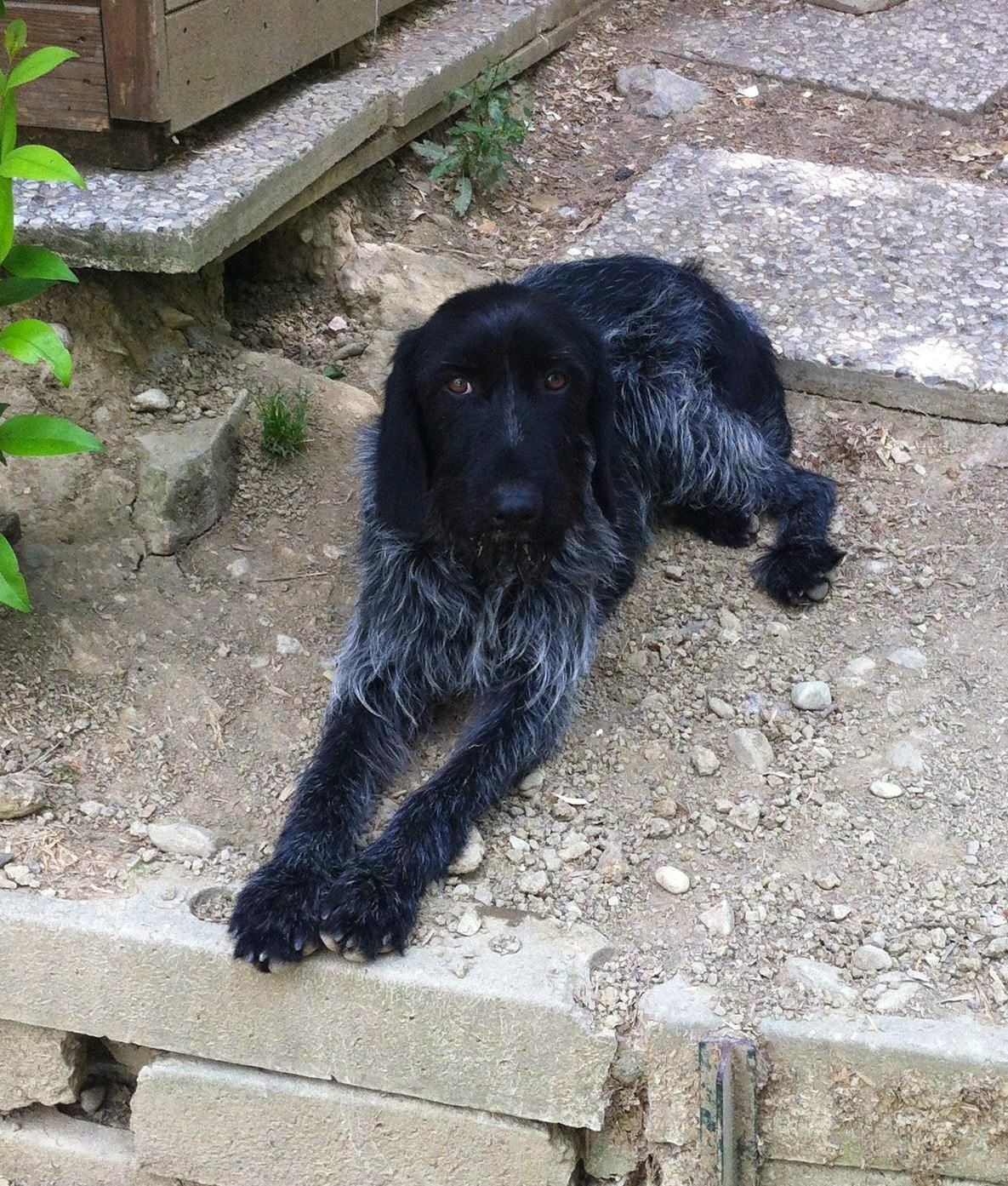 drahthaar cane da caccia setter adozione