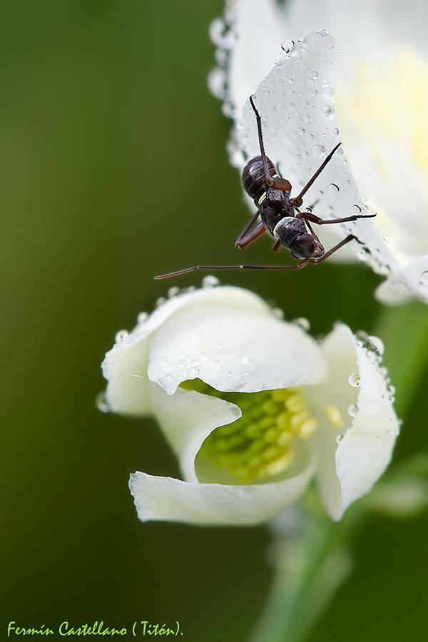 Hormiga y rocío