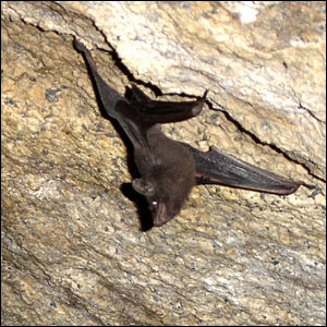 Seychelles+Sheath-tailed+Bat