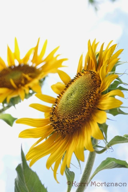 http://kerri-mortenson.artistwebsites.com/featured/sunflower-perspective-kerri-mortenson.html