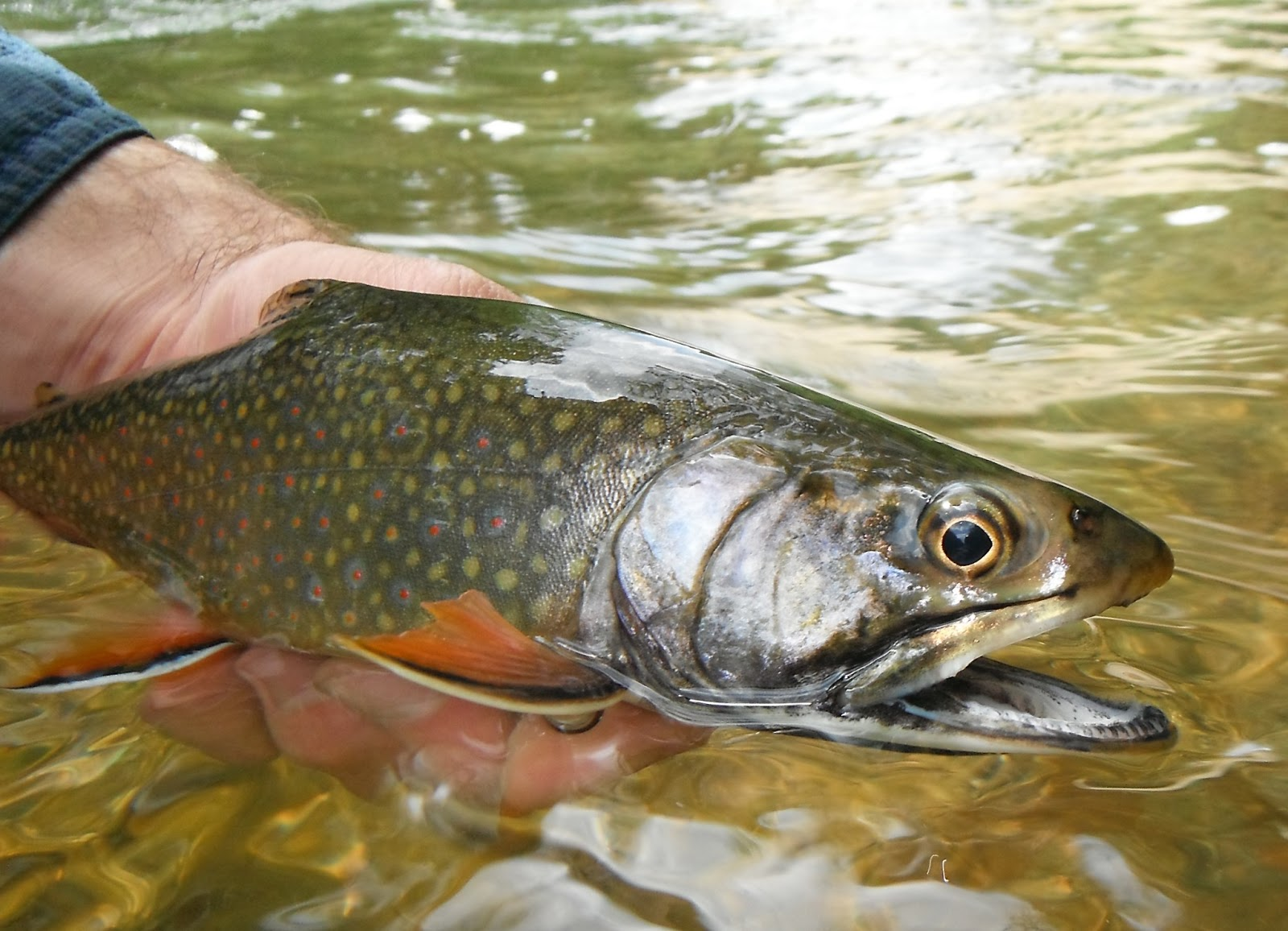 Western maryland fly fishing june 2013 for Trout fishing maryland