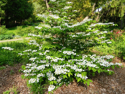 Viburnum plicatum f. tomentosum 'Mariesii' doublefile viburnum James Gardens by garden muses-not another Toronto gardening blog