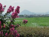 百日紅と遠方に近江富士がぼんやり映る