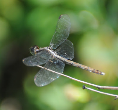 Band-winged Dragonlet (Erythrodiplax umbrata)