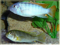 Ice Blue Red Top Zebra Fish Pictures