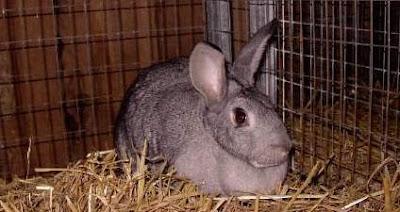 Peluang usaha rumahan ternak kelinci pic
