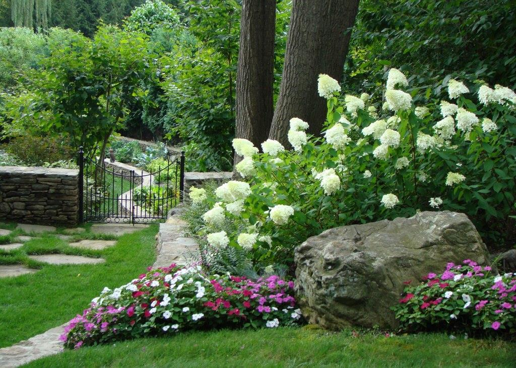 39 limelight 39 and 39 little lime 39 hydrangea great shrubs for any garden - Caring hydrangea garden ...