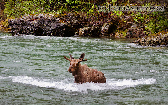 Moose crossing creek (c) John Ashley