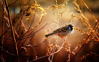 download Cute Sparrow hd wallpaper 2013