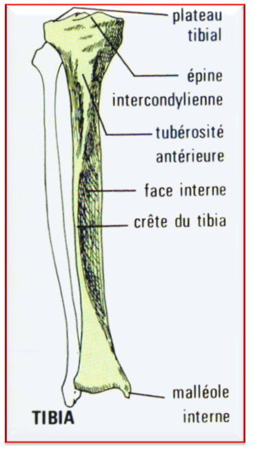 schéma du tibia