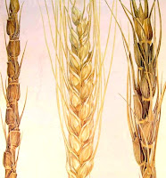 wheat-grain