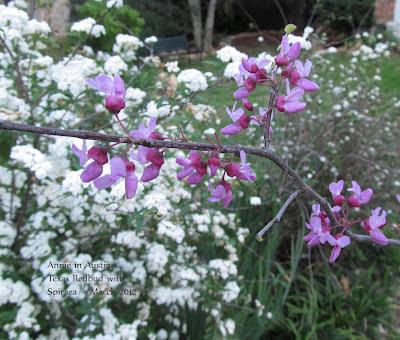 Annieinaustin,Texas redbud & spiraea