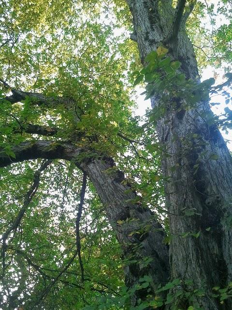 Tom Jones's Blog - Find the Lewisham Dutch Elm - October