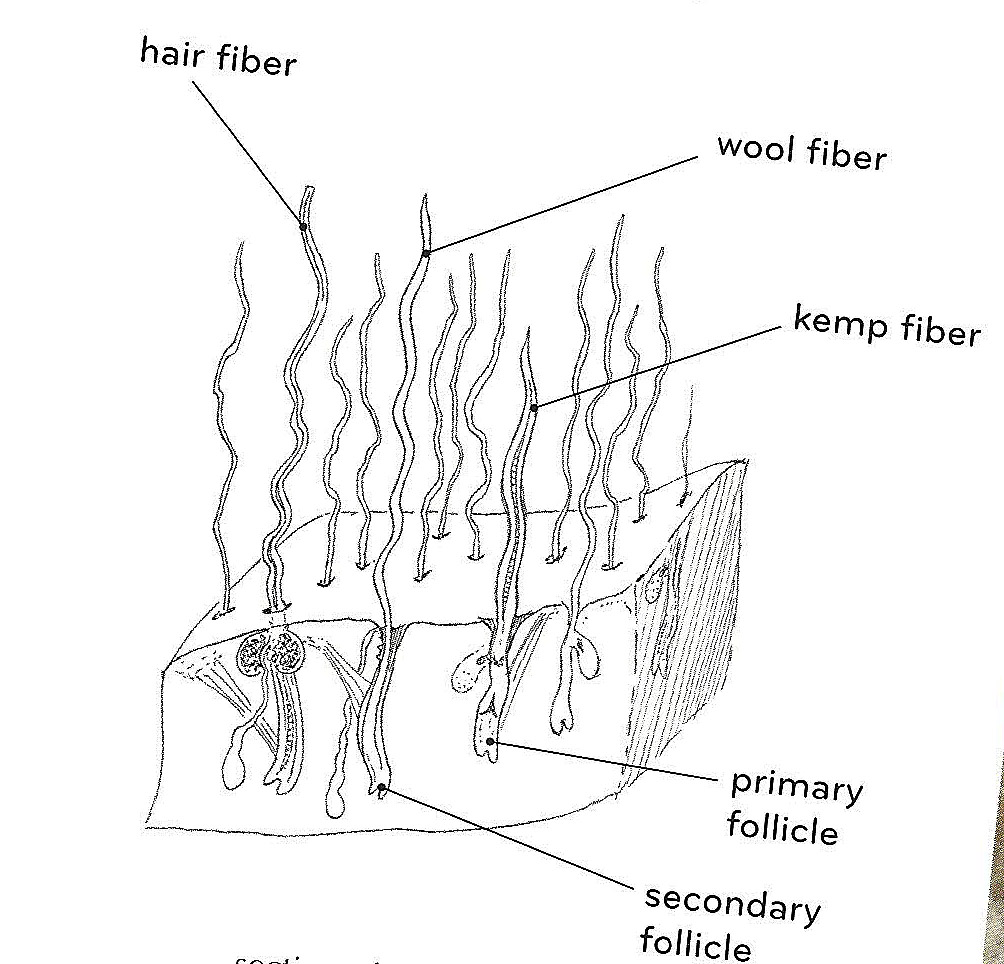 hair fiber diagram