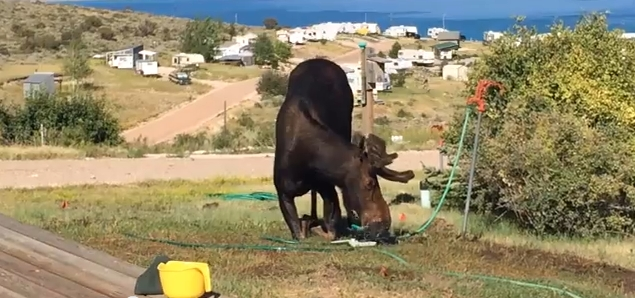 Moose Drinking from Sprinkler at Bear Lake, Utah (VIDEO)