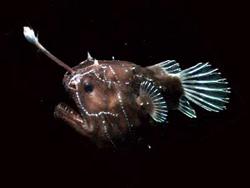 Angler Fish - Hewan Teraneh
