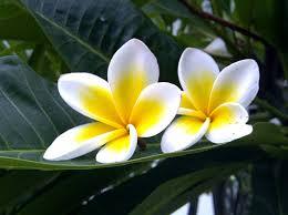 Khasiat bunga kamboja