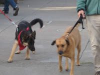 Dogs being walked. Castro, San Francisco, CA 94114