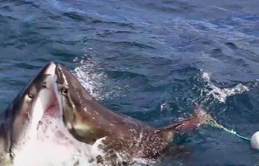 Great white shark attacks a second great white.  Shark VS shark