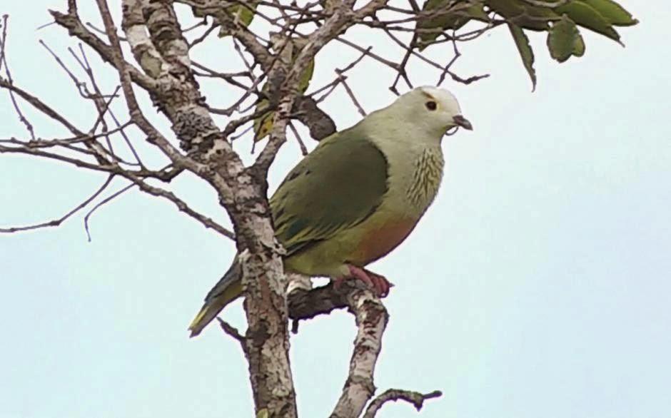 White capped fruit dove