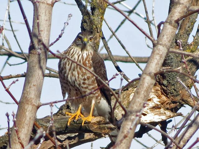 hawk in box elder