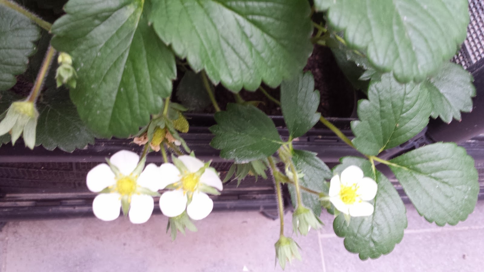 how to keep squirrels away from strawberry plants