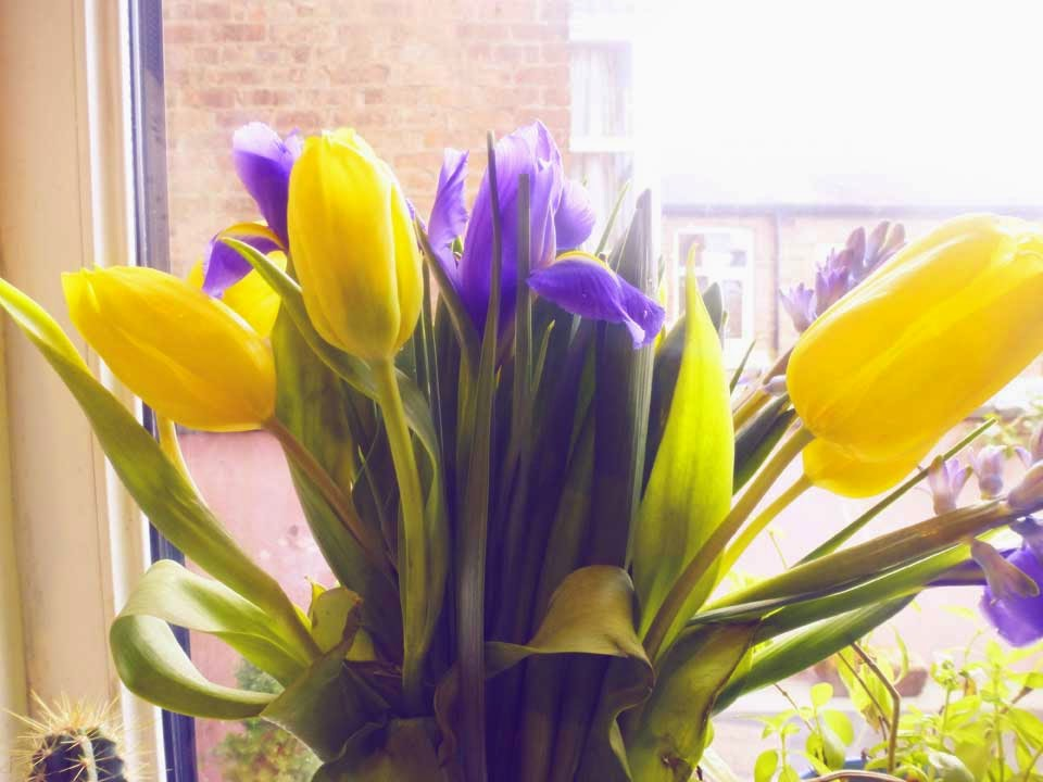 yellow tulips and purple iris