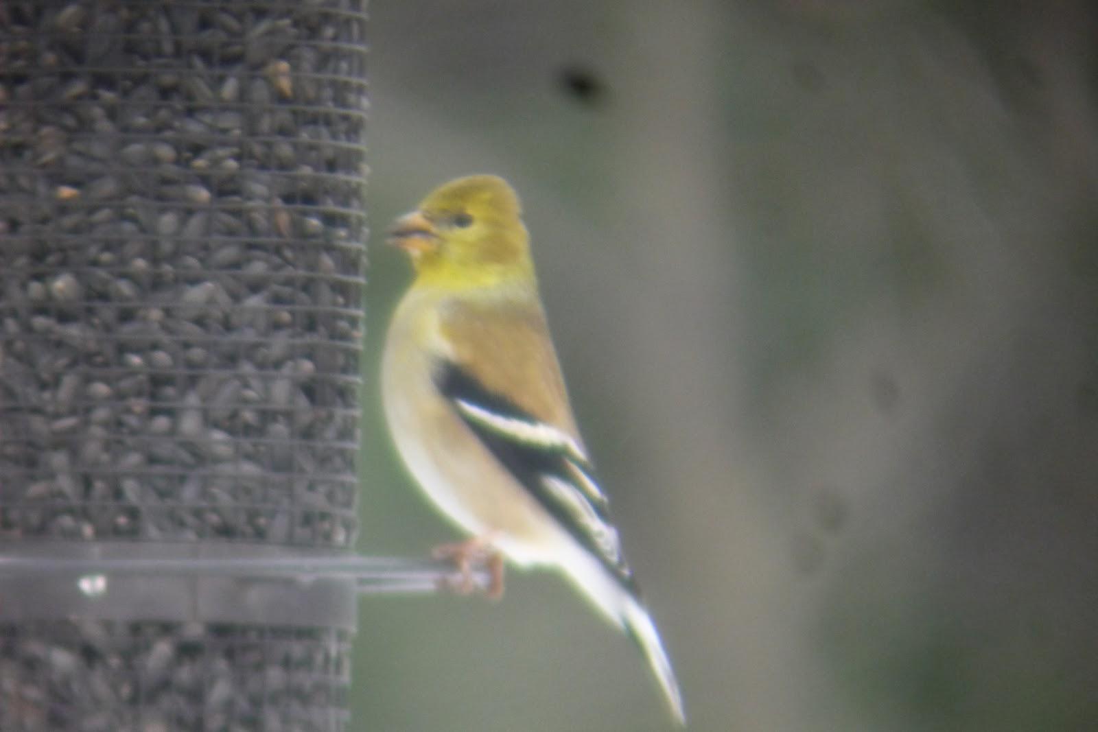 common redpoll photos great backyard bird count south burlington