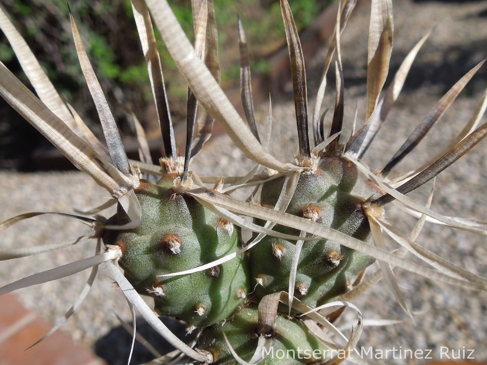 Espinas de papel crecimiento bot nic serrat for Fotos de cactus