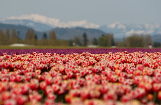 Picture of Skagit Valley Tulips