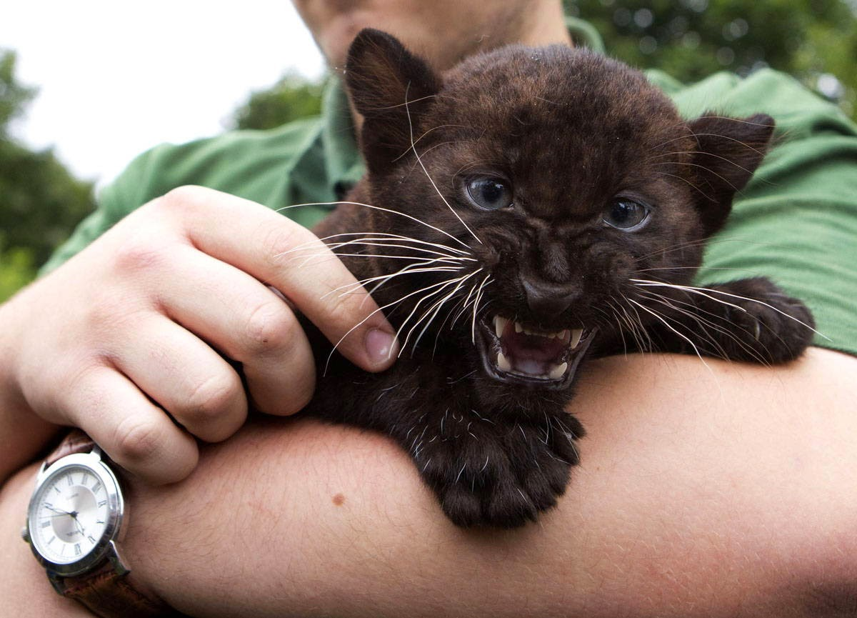 Funny animals of the week - 28 March 2014 (40 pics), baby panther