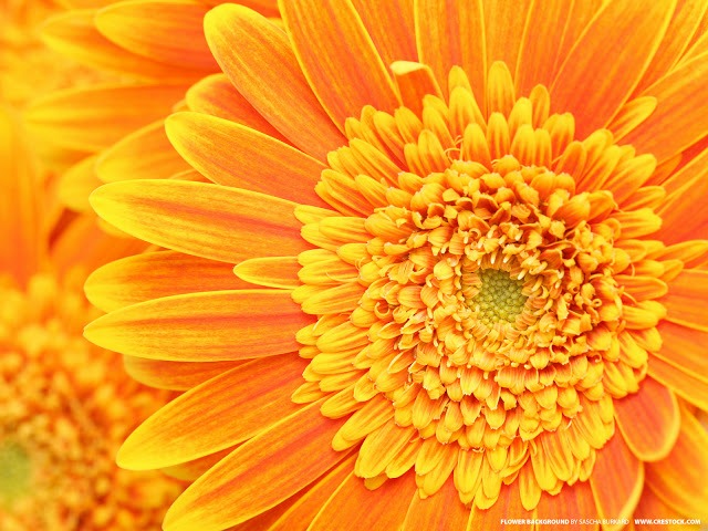 Golden yellow flowers images flower decoration ideas golden yellow flowers images flower decoration ideas yellow beautiful roses wallpapers any car wallpaper each golden mightylinksfo