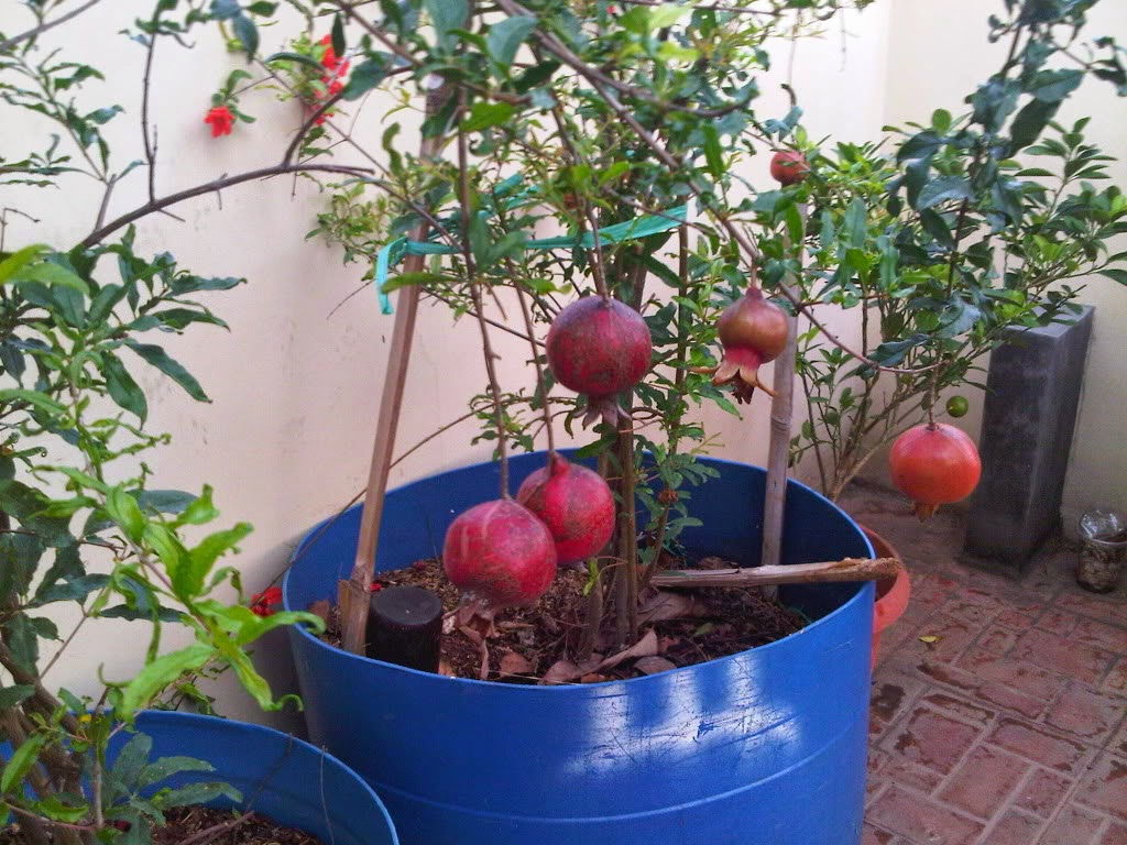 Jual pohon delima | suplier tanaman | tanaman hias | jasa desain taman
