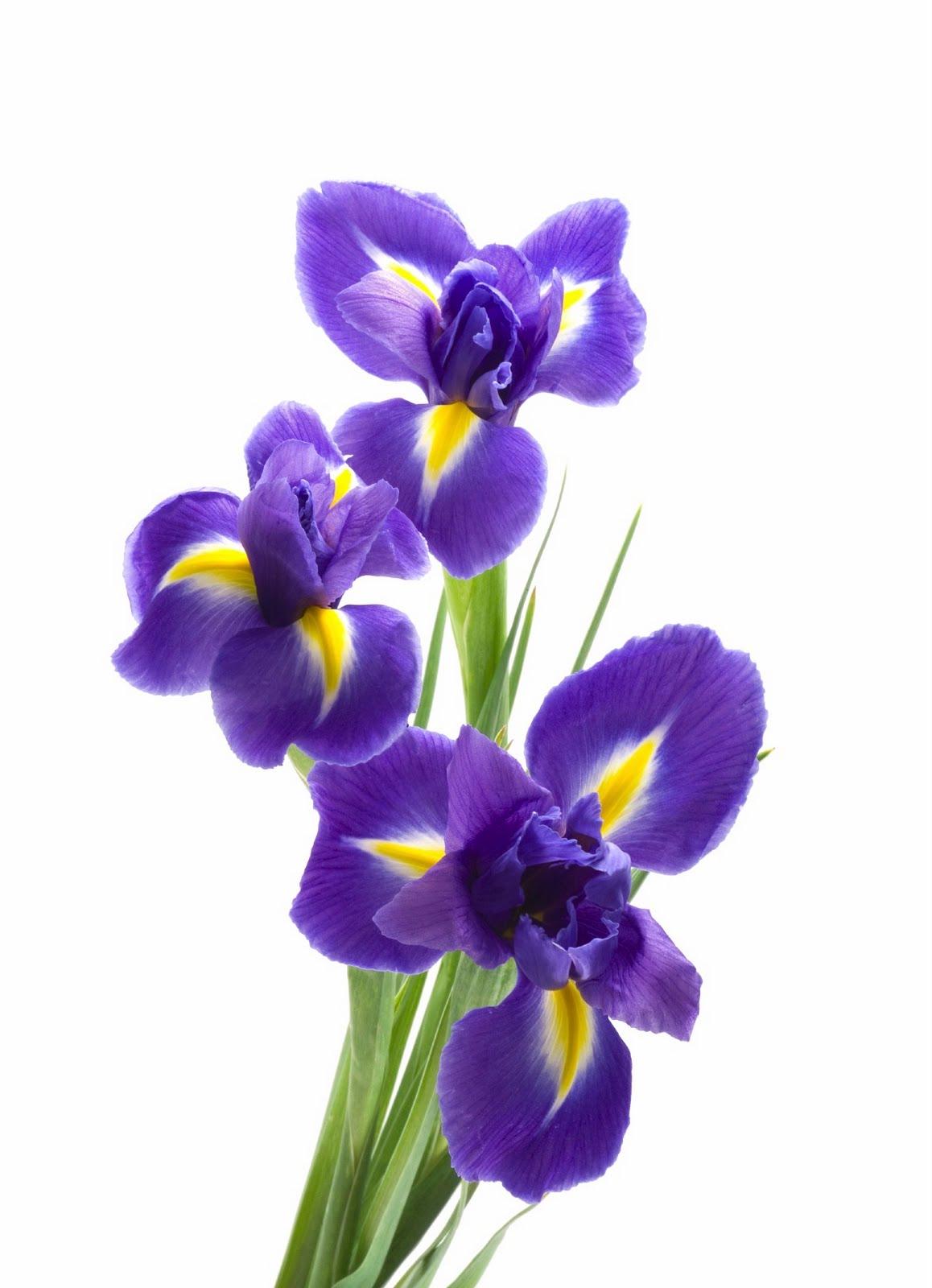 cactus flower florists omgodess 10 stems of iris for 10. Black Bedroom Furniture Sets. Home Design Ideas