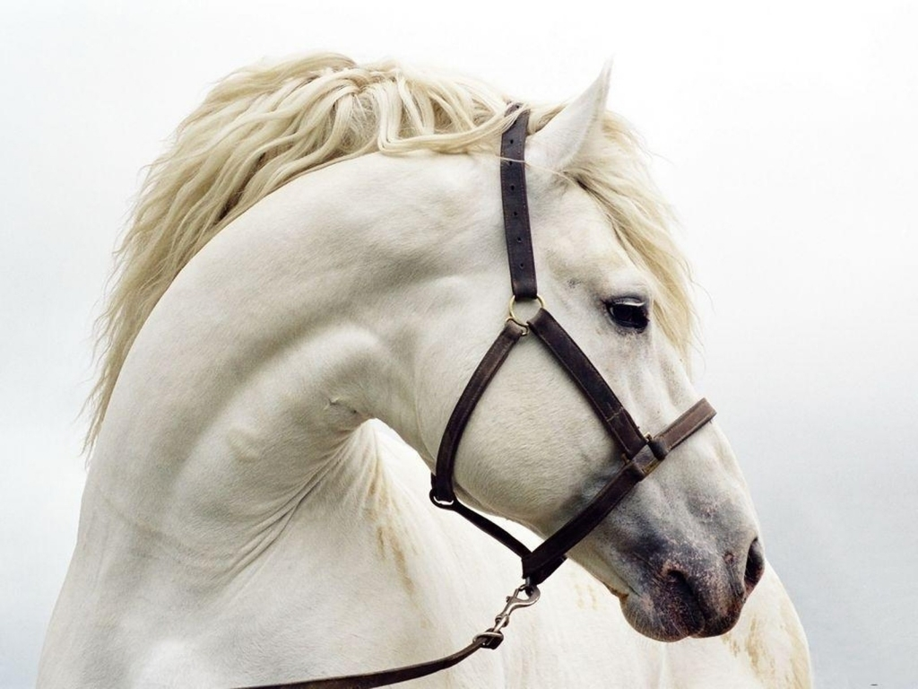 free horse wallpaper - white horse