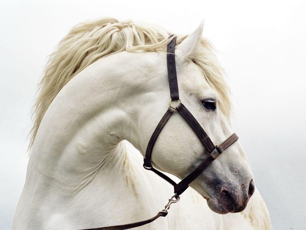 free horse wallpaper - white horse