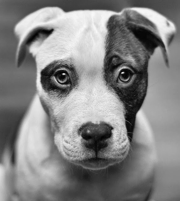 5 Interesting Facts about Pit Bulls