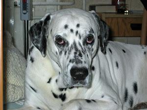 In memoriam Guszti kutyus