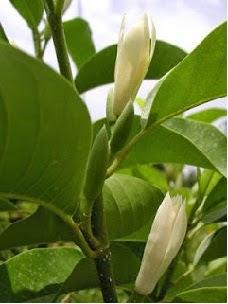 Bunga Cempaka putih atau ini dikenal juga dengan nama bunga Kuntil, ini merupakan anggota suku Magnoliaceae, bunga ini banyak terdapat di kawasan Asia tenggara, seperti di Indonesia dan negara-negara tetangganya. Bunga ini banyak digunakan dalam upacara-upacara tertentu atau ritual-ritual tertentu.