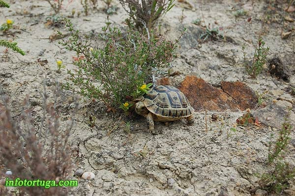 Cría de Testudo graeca en su hábitat